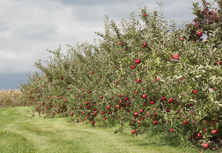 Apple Trees loaded with apples