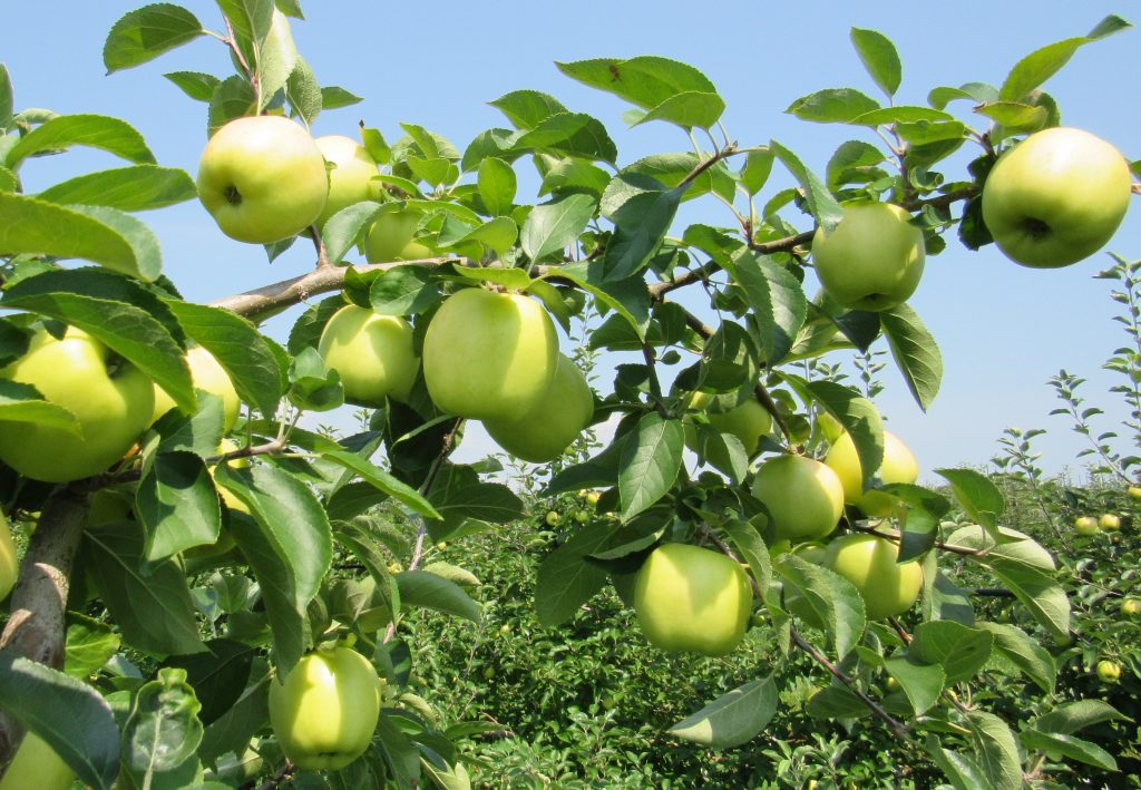 Silken Apples