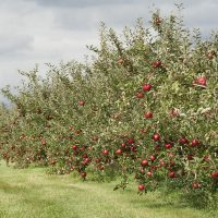 Trees in the orchard loaded with apples